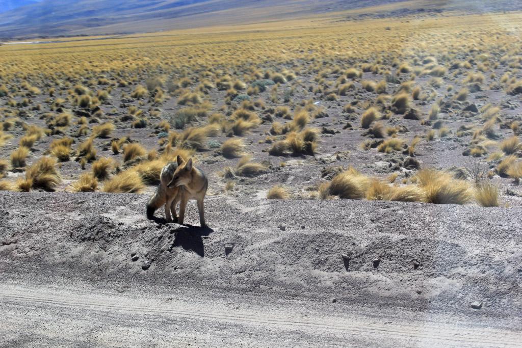 Лагуна Мисканти Атакама, Чили, отзыв в блоге о путешествиях по Чили ChileTravelMag-3