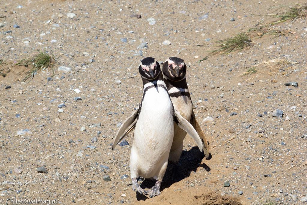 Пигвины на острове Магдалена в Чили - отзыв о поездке
