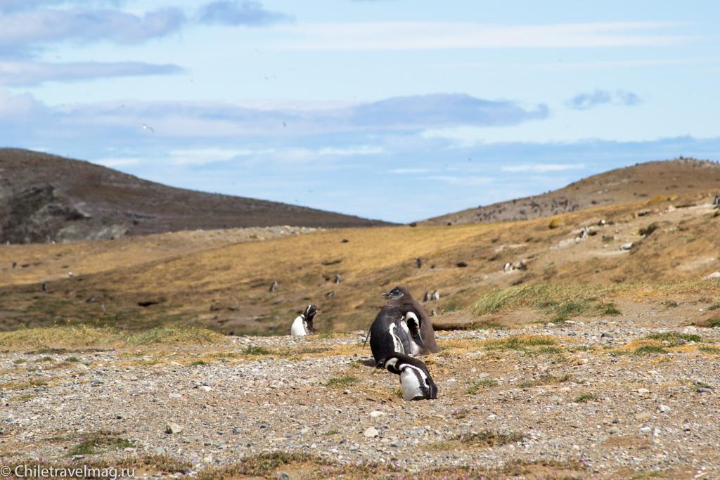 пигвины на острове Магдалена в Чили - фото и отзыв о поездке