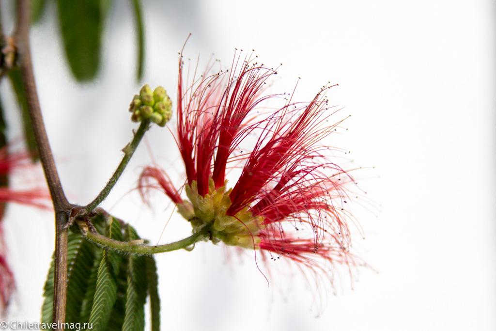 flowers-in-chile-%d1%81%d0%b0%d0%bd%d1%82%d1%8c%d1%8f%d0%b3%d0%be-%d1%87%d0%b8%d0%bb%d0%b8-%d1%84%d0%be%d1%82%d0%be-%d0%b1%d0%bb%d0%be%d0%b3-%d1%81hiletravelmag-1
