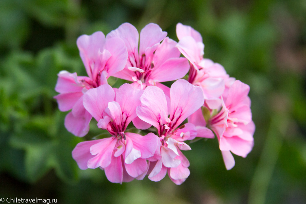 flowers-in-chile-%d1%81%d0%b0%d0%bd%d1%82%d1%8c%d1%8f%d0%b3%d0%be-%d1%87%d0%b8%d0%bb%d0%b8-%d1%84%d0%be%d1%82%d0%be-%d0%b1%d0%bb%d0%be%d0%b3-%d1%81hiletravelmag-11