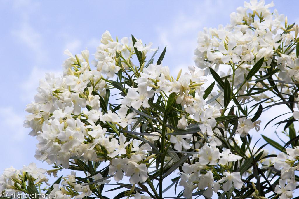 flowers-in-chile-%d1%81%d0%b0%d0%bd%d1%82%d1%8c%d1%8f%d0%b3%d0%be-%d1%87%d0%b8%d0%bb%d0%b8-%d1%84%d0%be%d1%82%d0%be-%d0%b1%d0%bb%d0%be%d0%b3-%d1%81hiletravelmag-13