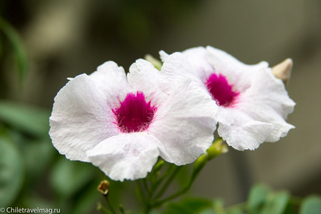 flowers-in-chile-%d1%81%d0%b0%d0%bd%d1%82%d1%8c%d1%8f%d0%b3%d0%be-%d1%87%d0%b8%d0%bb%d0%b8-%d1%84%d0%be%d1%82%d0%be-%d0%b1%d0%bb%d0%be%d0%b3-%d1%81hiletravelmag-14