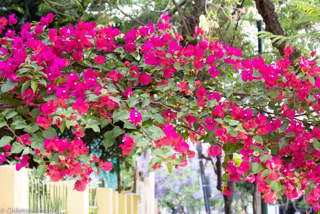 flowers-in-chile-%d1%81%d0%b0%d0%bd%d1%82%d1%8c%d1%8f%d0%b3%d0%be-%d1%87%d0%b8%d0%bb%d0%b8-%d1%84%d0%be%d1%82%d0%be-%d0%b1%d0%bb%d0%be%d0%b3-%d1%81hiletravelmag-15