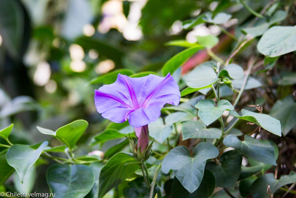 flowers-in-chile-%d1%81%d0%b0%d0%bd%d1%82%d1%8c%d1%8f%d0%b3%d0%be-%d1%87%d0%b8%d0%bb%d0%b8-%d1%84%d0%be%d1%82%d0%be-%d0%b1%d0%bb%d0%be%d0%b3-%d1%81hiletravelmag-18