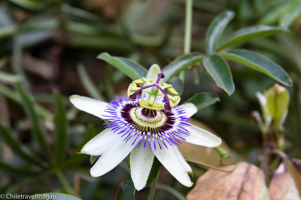 flowers-in-chile-%d1%81%d0%b0%d0%bd%d1%82%d1%8c%d1%8f%d0%b3%d0%be-%d1%87%d0%b8%d0%bb%d0%b8-%d1%84%d0%be%d1%82%d0%be-%d0%b1%d0%bb%d0%be%d0%b3-%d1%81hiletravelmag-4