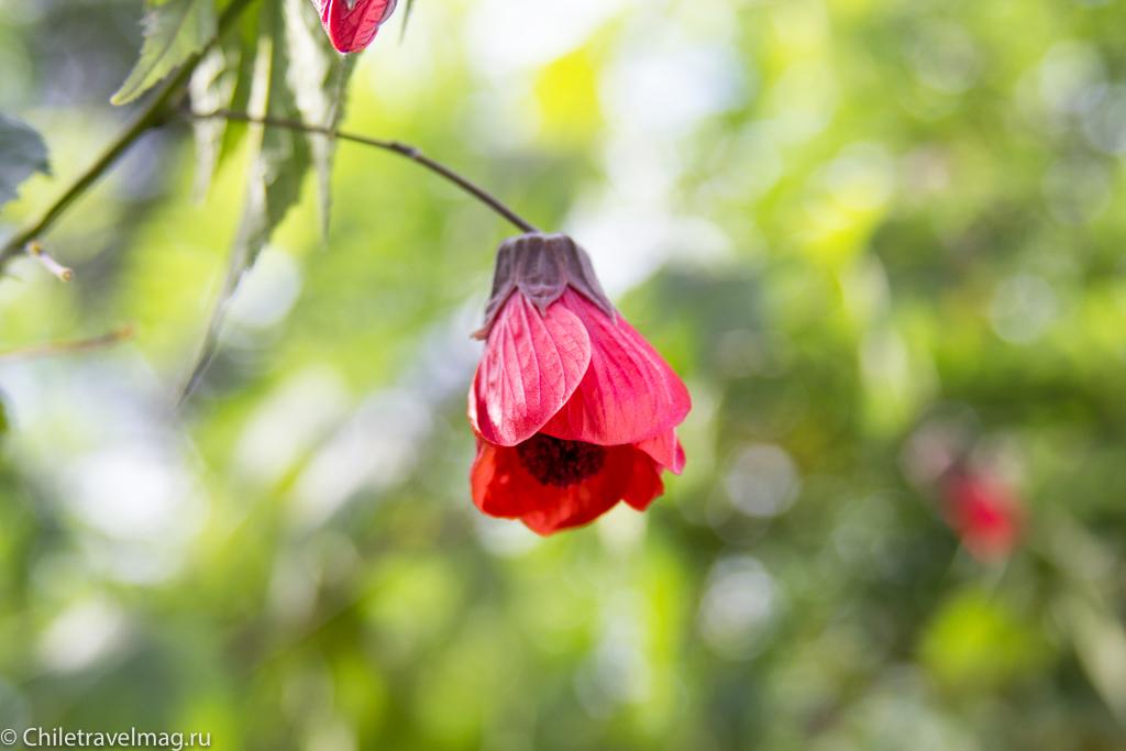 flowers-in-chile-%d1%81%d0%b0%d0%bd%d1%82%d1%8c%d1%8f%d0%b3%d0%be-%d1%87%d0%b8%d0%bb%d0%b8-%d1%84%d0%be%d1%82%d0%be-%d0%b1%d0%bb%d0%be%d0%b3-%d1%81hiletravelmag-6