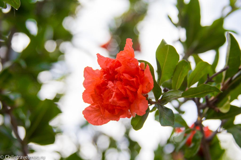 flowers-in-chile-%d1%81%d0%b0%d0%bd%d1%82%d1%8c%d1%8f%d0%b3%d0%be-%d1%87%d0%b8%d0%bb%d0%b8-%d1%84%d0%be%d1%82%d0%be-%d0%b1%d0%bb%d0%be%d0%b3-%d1%81hiletravelmag-9