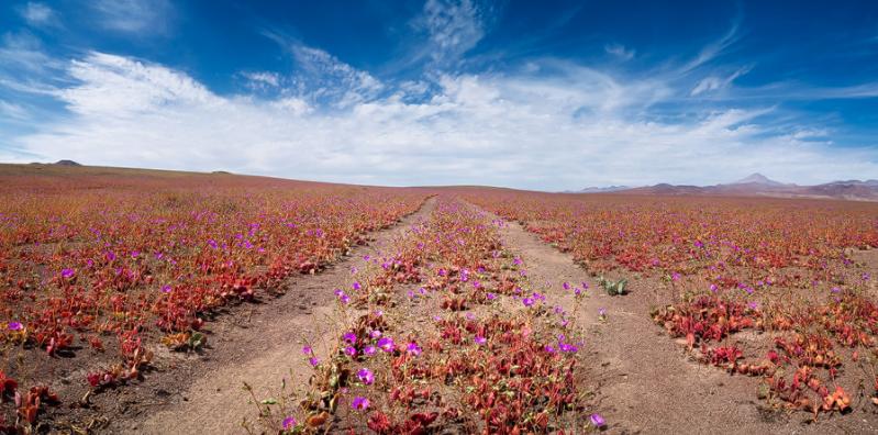Цветущая пустыня Атакама Чили
