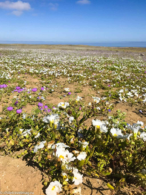 Цветущая пустыня Атакама тур поездка Чили10