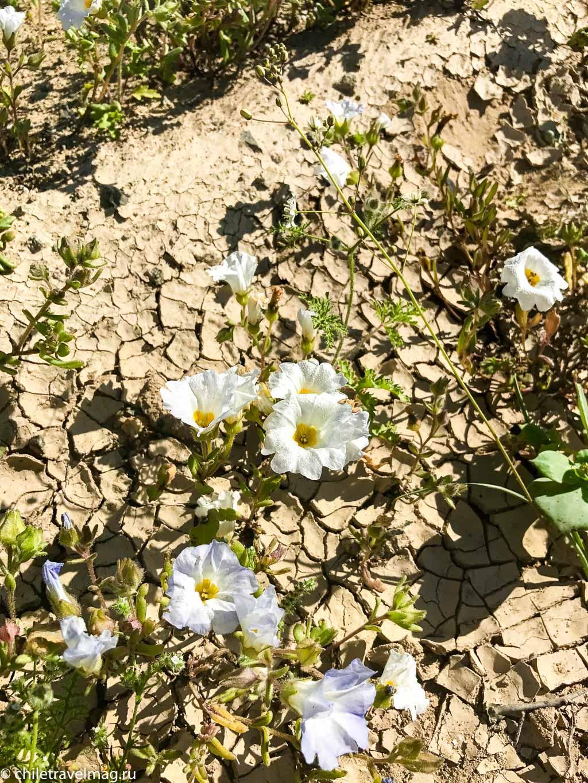 Цветущая пустыня Атакама тур поездка Чили12