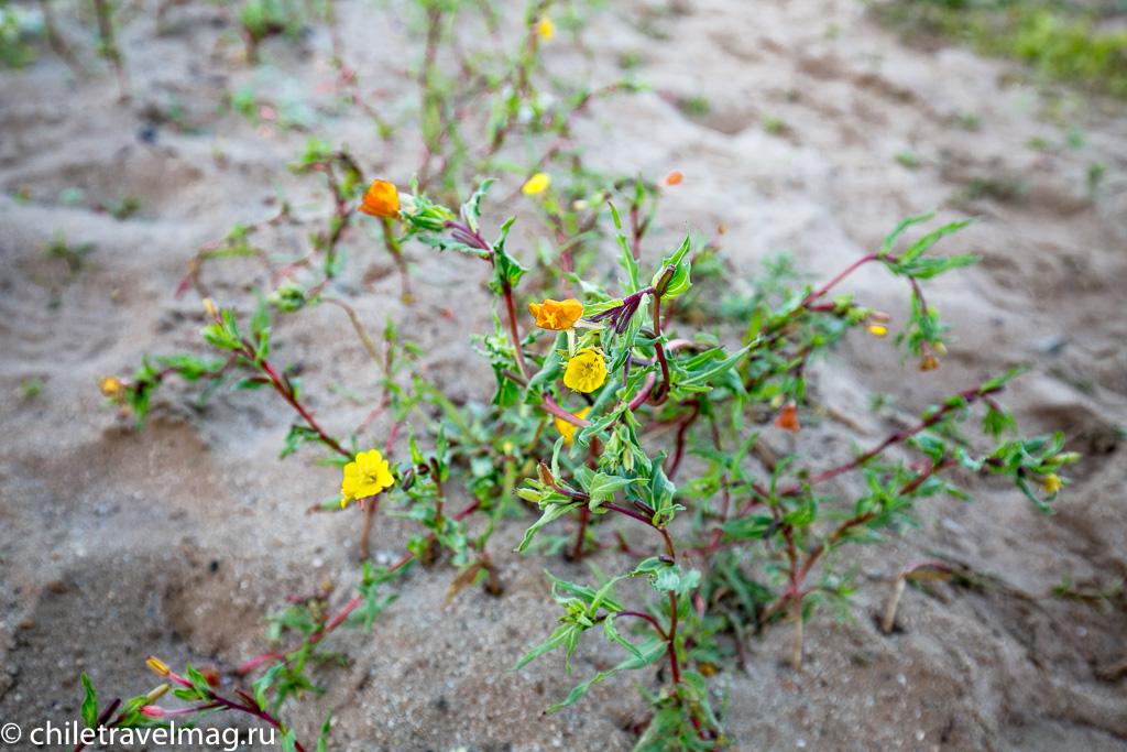 Цветущая пустыня Чили14
