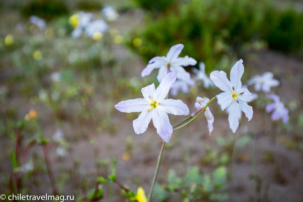 Цветущая пустыня Чили17