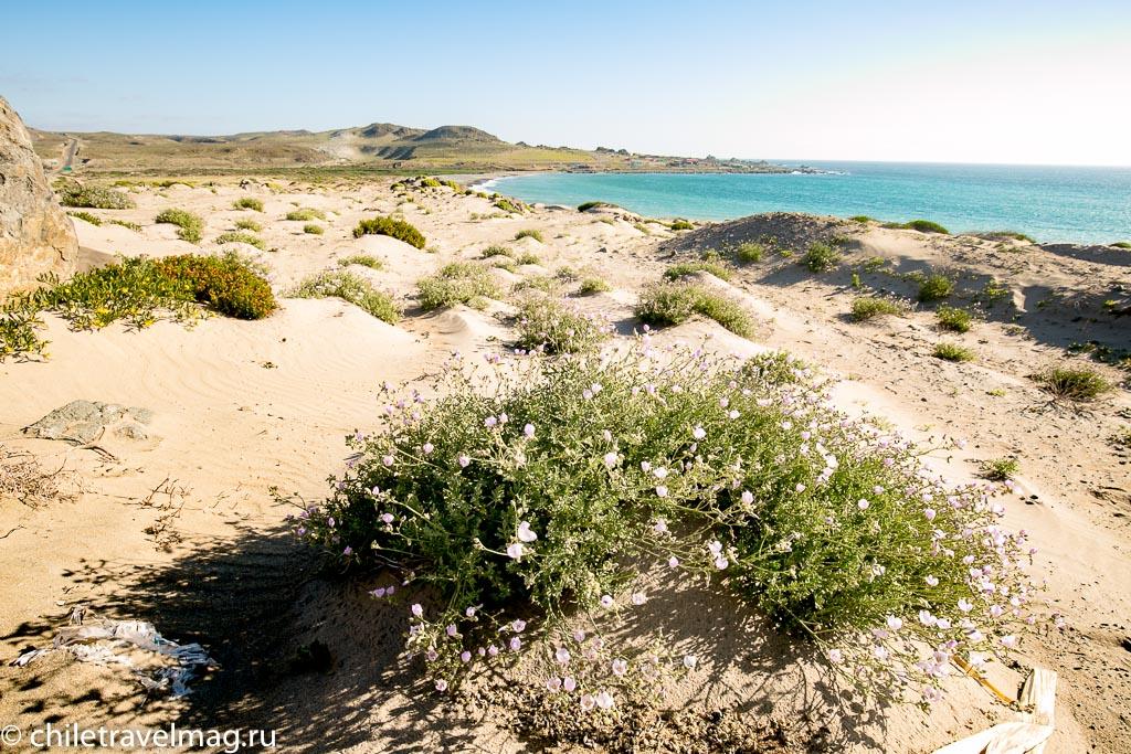 Цветущая пустыня Чили3