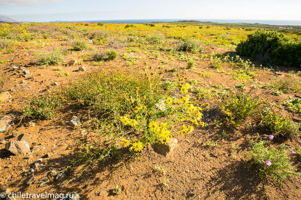 Цветущая пустыня Чили4