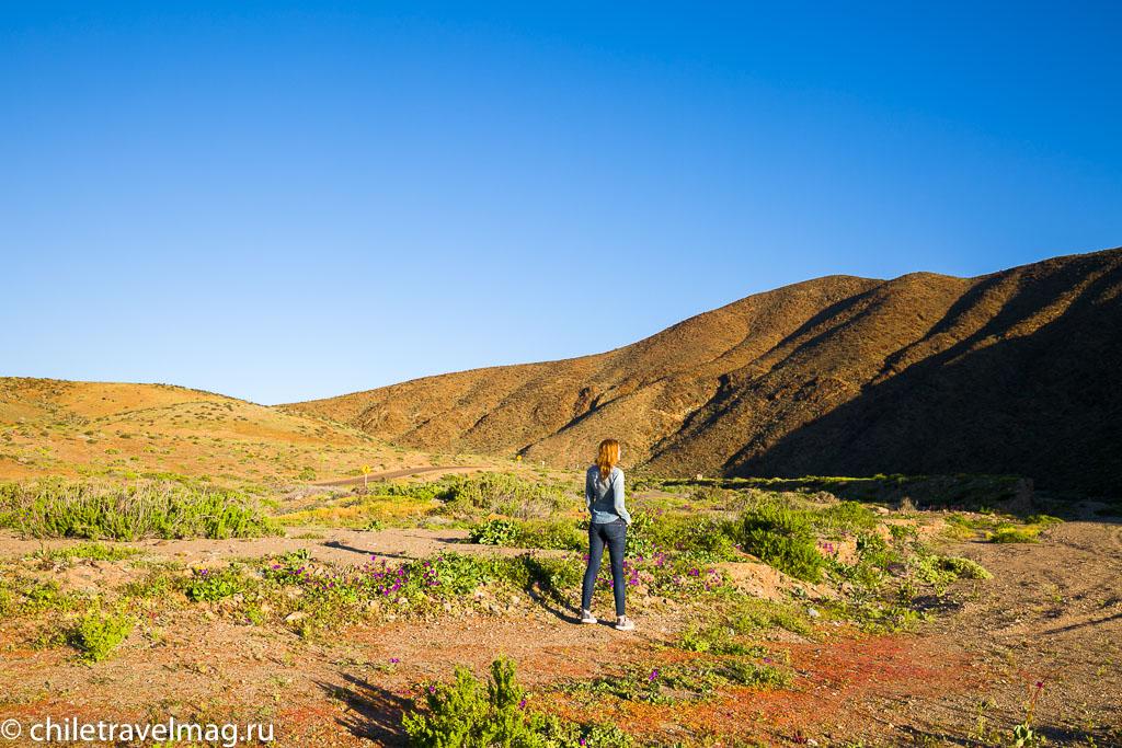 Цветущая пустыня Чили5