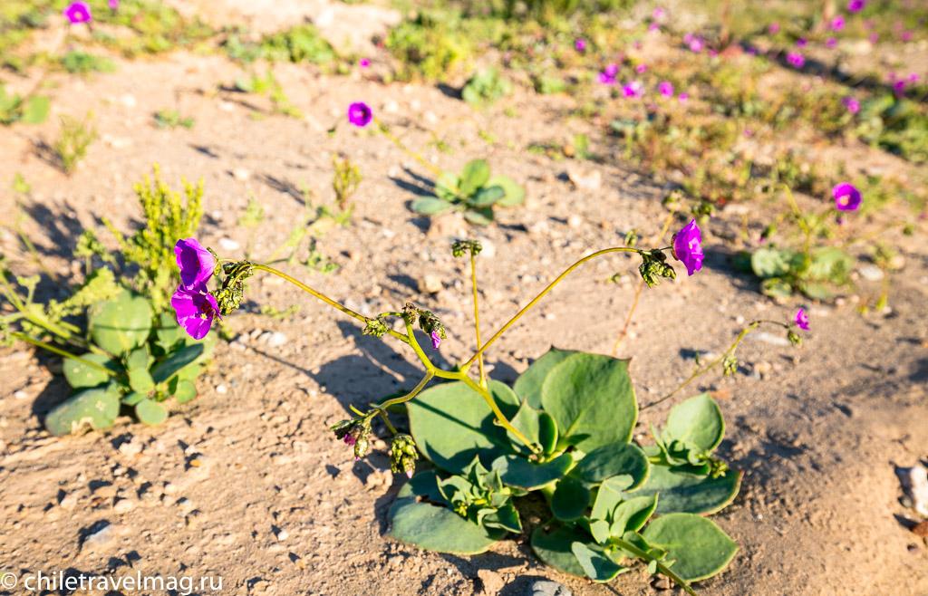 Цветущая пустыня Чили6