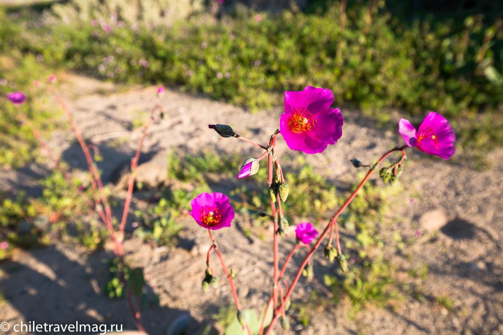 Цветущая пустыня Чили7