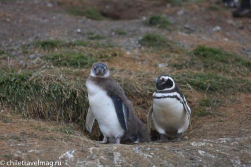 остров Магдалена, пингвины в Патагонии, Чили12