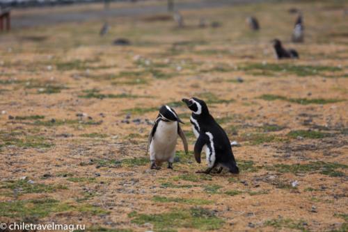 остров Магдалена, пингвины в Патагонии, Чили26