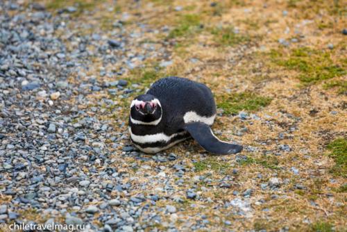 остров Магдалена, пингвины в Патагонии, Чили5